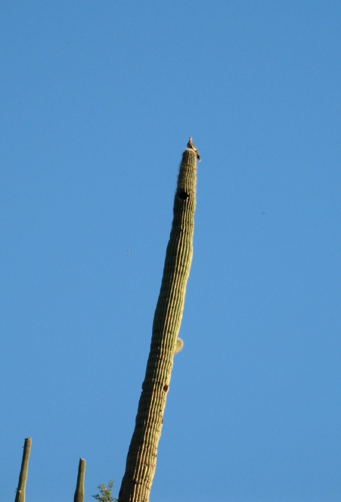 A Turtle Dove (Tortolita) Watches Us