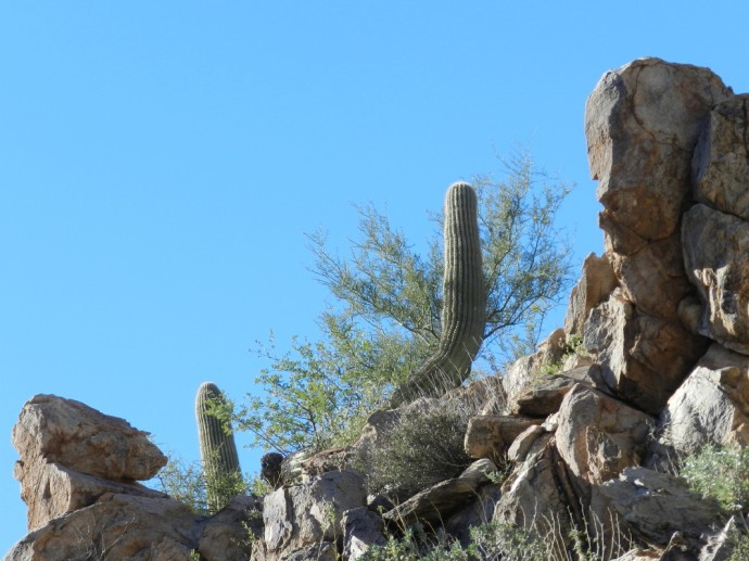 A Familiar Bent Saguaro Shows Us New Growth