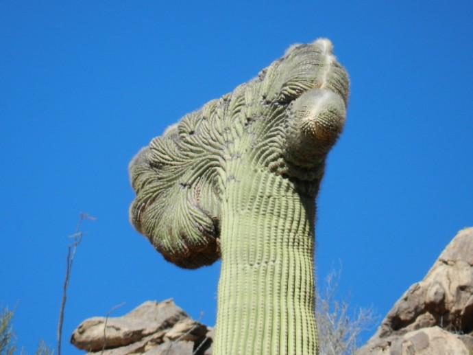 Majestic Crested Saguaro