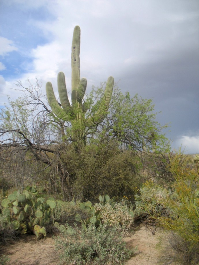 An Island of life near the trail. This mesquite and hackberry began the nurturing of this saguaro well over one hundred years ago.