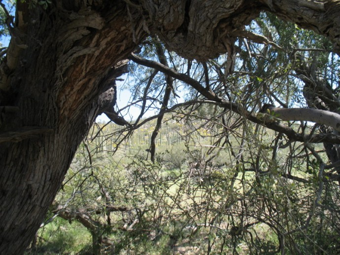 From Inside the Ironwood Canopy