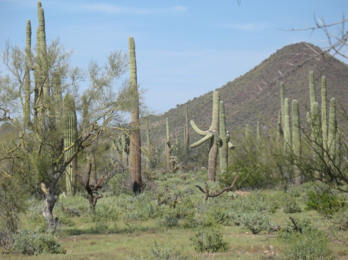 Two Saguaros Dance as Others Look On