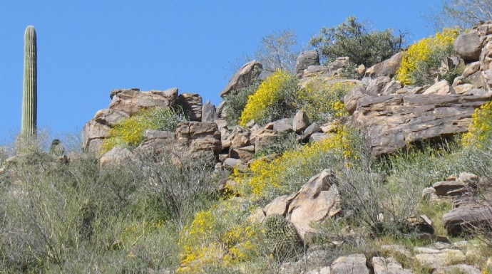 Brittle Bush on a Hill