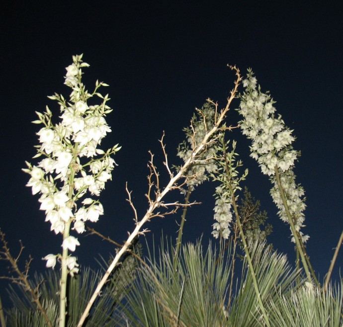 New Mexico's Yucca Above Us
