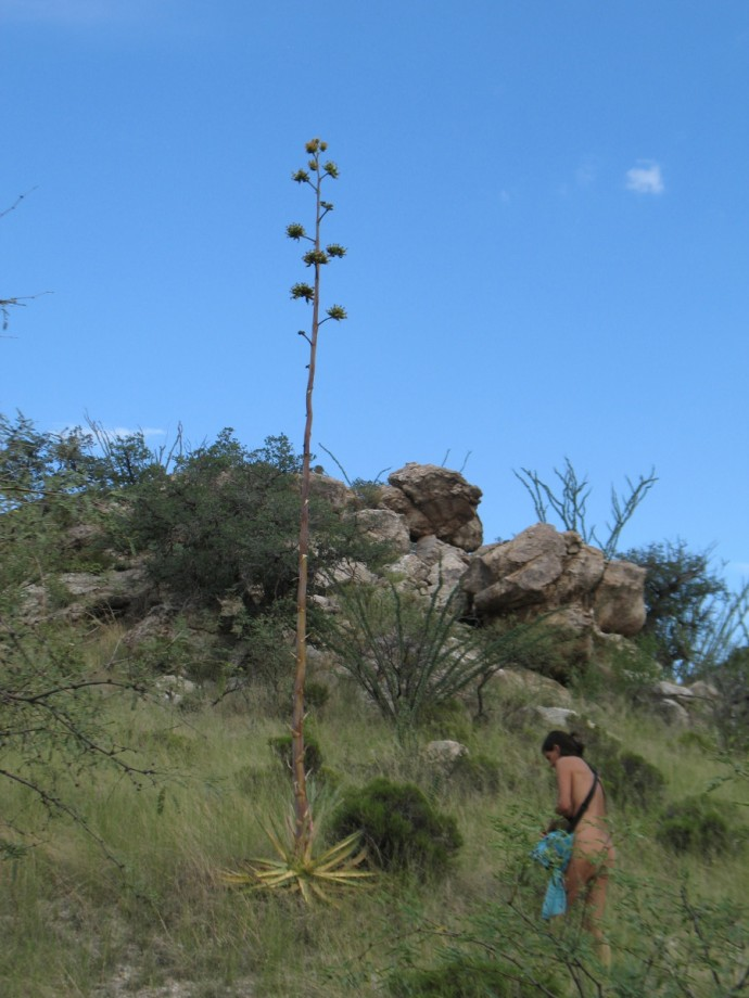 DF with Native Agave