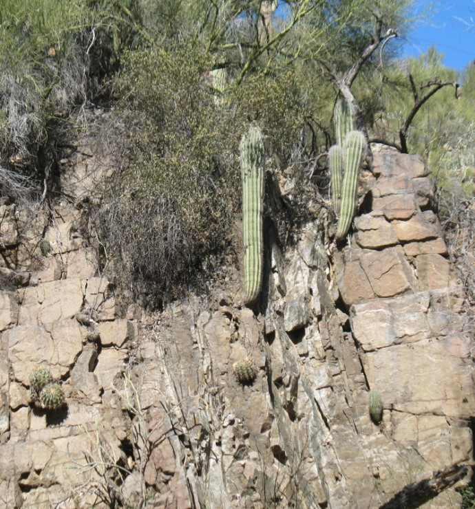 Saguaro Grow out of the Rock Face